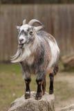 Retrato de uma cabra Fotos de Stock Royalty Free