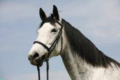 Retrato de uma cena rural do cavalo cinzento do puro-sangue Fotos de Stock