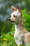 Retrato de uma chihuahua Foto de Stock Royalty Free