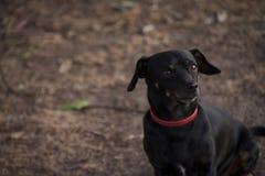 Retrato de uma chihuahua preta pequena Foto de Stock