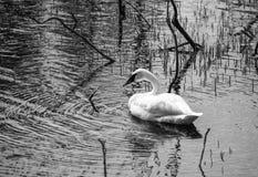 Retrato de uma cisne de trompetista foto de stock