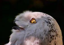 Retrato de uma coruja de águia Foto de Stock Royalty Free