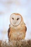 Retrato de uma coruja de celeiro Fotografia de Stock Royalty Free