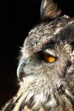 Retrato de uma coruja no close up foto de stock royalty free