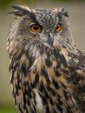 Retrato de uma Eagle-coruja euro-asiática Foto de Stock