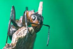Retrato de uma formiga Imagens de Stock Royalty Free