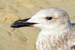 Retrato de uma gaivota Fotos de Stock Royalty Free