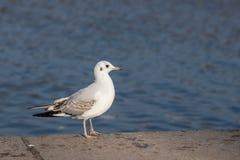 Retrato de uma gaivota Fotografia de Stock Royalty Free