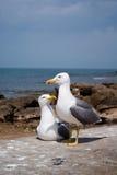 Retrato de uma gaivota Essaouir foto de stock