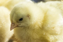 Retrato de uma galinha foto de stock