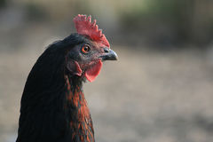 Retrato de uma galinha Fotos de Stock Royalty Free
