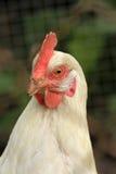 Retrato de uma galinha branca Fotos de Stock Royalty Free
