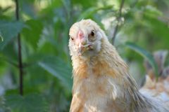 Retrato de uma galinha nova do brahma Fotos de Stock Royalty Free