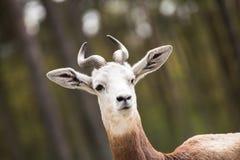 Retrato de uma gazela do Dama no fundo um jipe e uma floresta fotografia de stock