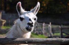 Retrato de uma Lama branca Fotos de Stock Royalty Free