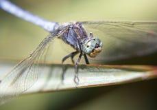 Retrato de uma libélula Imagens de Stock