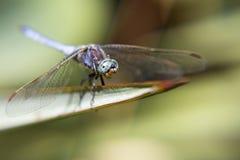 Retrato de uma libélula Foto de Stock