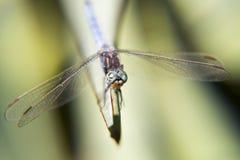 Retrato de uma libélula Fotografia de Stock