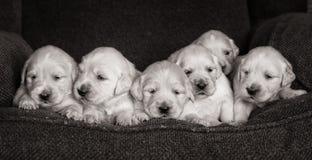Retrato de uma maca adorável de cachorrinhos ou de bebês do golden retriever em preto e branco foto de stock royalty free