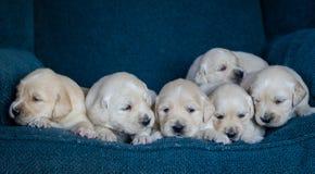 Retrato de uma maca adorável de cachorrinhos ou de bebês do golden retriever em um fundo azul fotografia de stock