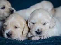 Retrato de uma maca adorável de cachorrinhos ou de bebês do golden retriever em um fundo azul foto de stock royalty free