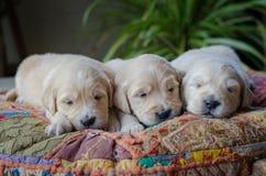 Retrato de uma maca do sono adorável dos cachorrinhos ou dos bebês do golden retriever imagens de stock royalty free