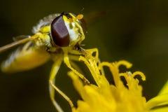 Retrato de uma mosca Fotografia de Stock Royalty Free