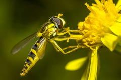 Retrato de uma mosca imagem de stock royalty free
