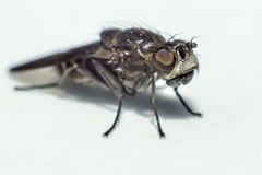 Retrato de uma mosca Fotos de Stock Royalty Free