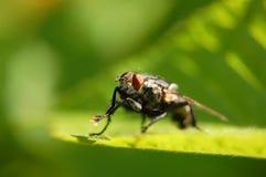 Retrato de uma mosca Imagens de Stock Royalty Free