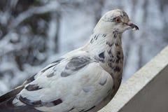 Retrato de uma pomba imagens de stock