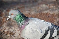 Retrato de uma pomba na neve Fotos de Stock Royalty Free