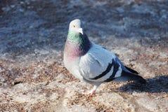 Retrato de uma pomba na neve Fotografia de Stock Royalty Free