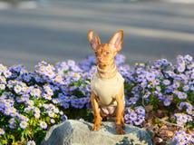 Retrato de uma raça de Terrier de brinquedo do russo do cachorrinho em um fundo de flores lilás fotografia de stock