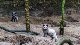Retrato de uma raposa ártica que está em um monte da areia, animal do hemisfério Norte imagens de stock royalty free