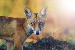 Retrato de uma raposa bonita com ponto quente ensolarado Imagens de Stock Royalty Free