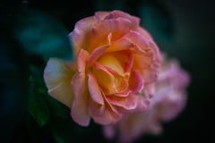 Retrato de uma rosa imagem de stock