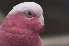 Retrato de uma rosa e de uma cacatua cinzenta, Galah, pássaro de Austrália imagens de stock royalty free
