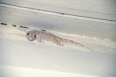 Retrato de uma salpicadura da laranja do geco do lagarto Imagem de Stock Royalty Free