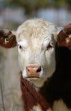 Retrato de uma vaca Fotos de Stock Royalty Free