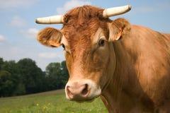 Retrato de uma vaca imagem de stock