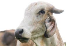 Retrato de uma vaca Fotografia de Stock