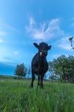 Retrato de uma vaca Foto de Stock Royalty Free