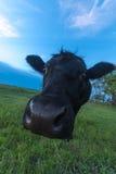 Retrato de uma vaca Fotografia de Stock Royalty Free