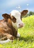 Retrato de uma vaca bonita na grama foto de stock