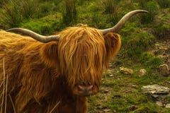 Retrato de uma vaca das montanhas fotos de stock royalty free