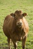 Retrato de uma vaca marrom. Fotografia de Stock