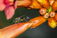 Retrato de uma vespa Fotos de Stock