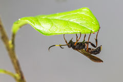 Retrato de uma vespa foto de stock royalty free