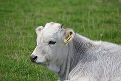 Retrato de uma vitela branca que encontra-se em um pasto verde fotografia de stock